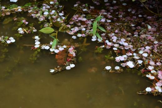 Small pool of water covered in early cherry blossom petals