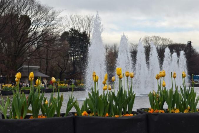 tulips in Ueno Park
