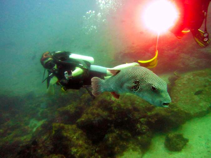 Elder Pufferfish Similan Islands