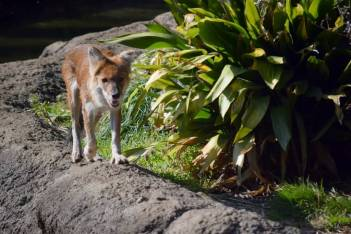 Dhole at Ueno Zoo