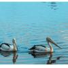 pelican-print-wall-art