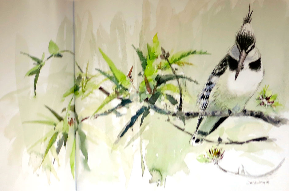 David Daly - Pied Kingfisher