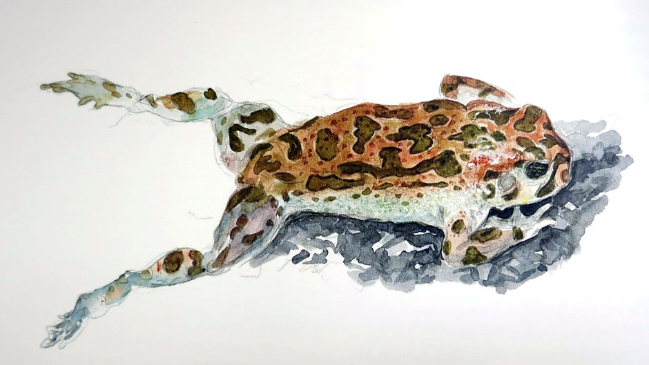 Jean Chevallier - European GreenToad