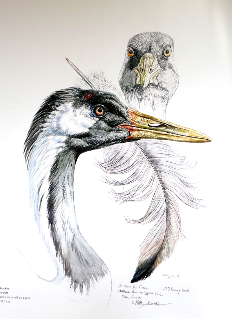 Keith Brockie - Crane portrait