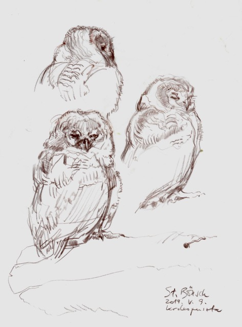 Young Tawny owl studies by Stefan Bönsch, Germany