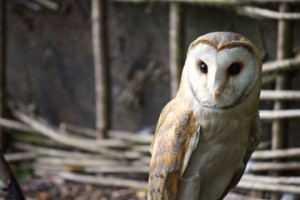 Photo of an owl at Dalhousie Castle and their falconry; on my honeymoon!