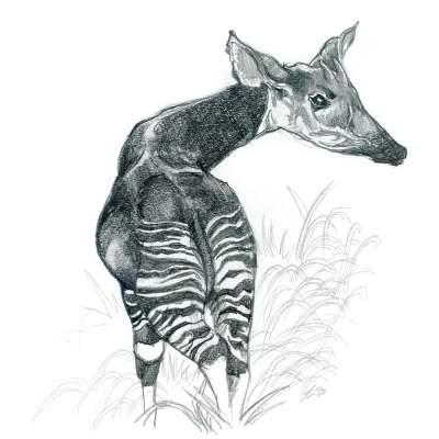 Okapi Pencil Sketch