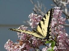 Papillon 3