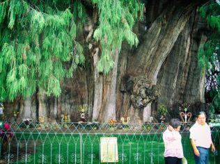 El Tule-Le plus gros arbre du monde