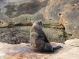 Kekeno seal - Shag point