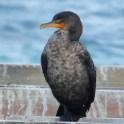 Cormoran à aigrettes (ou Vigua)