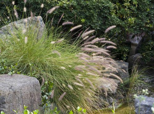 pennisetum herbe aux écouvillons