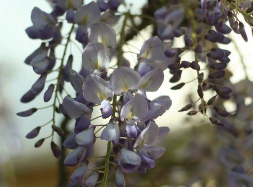 glycine - fleurs de mai conseil