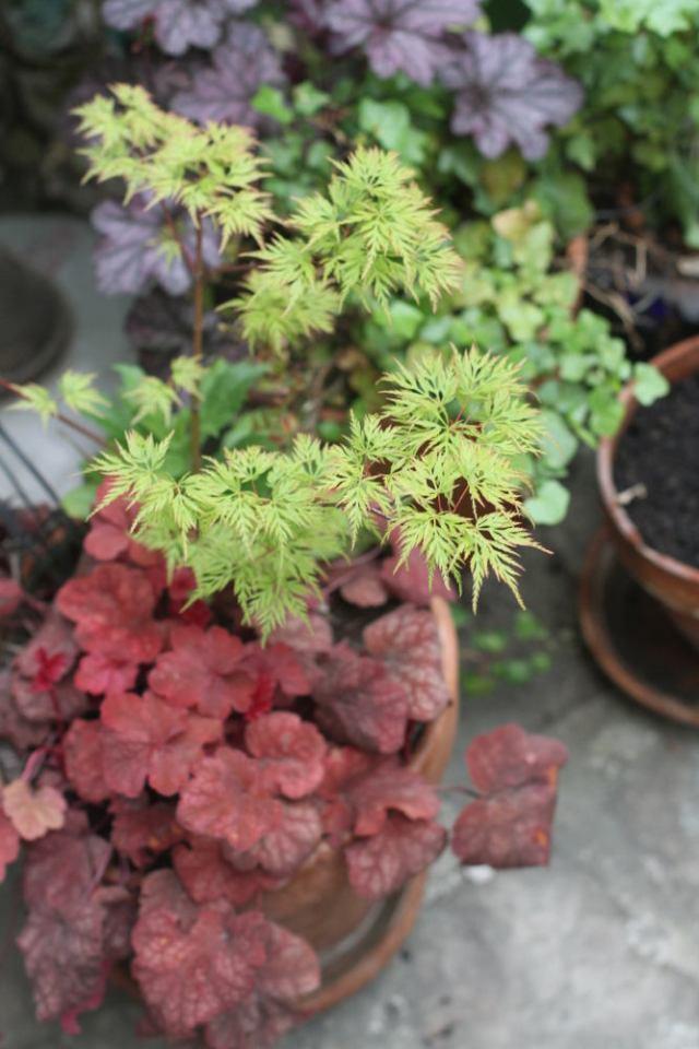 heuchere érable plante en pot