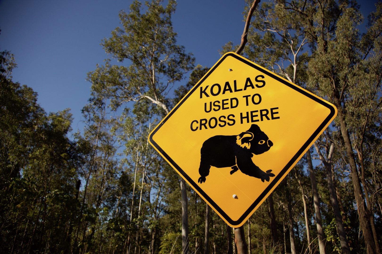 Koalas used to cross here IMG_4626
