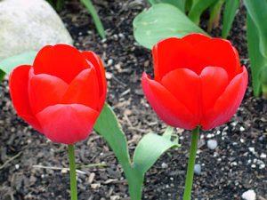 ColorPlay: Tulips original
