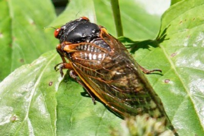 cicada_solo.jpg