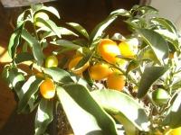 Kumquats 2