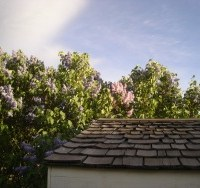 Lilacs In The Wind