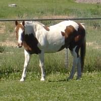 A Pinto Pony