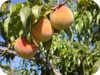 Peaches # 2 2013