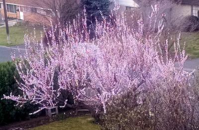 Apricot Tree 31315