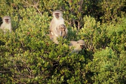 Casa Frenzy Vervet Monkeys