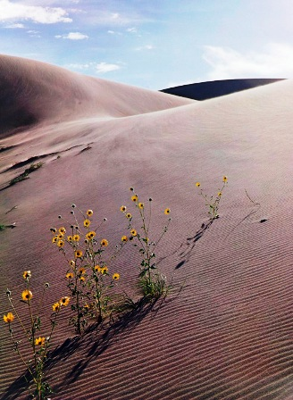 Eliot Porter (United States, 1901-1990), Sunflower and Sand Dune, Colorado, 1959, dye imbibition print, 16 x 11 3/4 inches. Portland Museum of Art, Maine. © Amon Carter Museum of American Art, Fort Worth, Texas.)