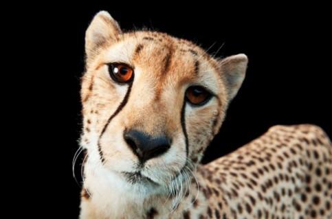 Hasari, a three-year-old cheetah (Acinonyx jubatus), at White Oak Conservation Center. Image copyrighted Joel Sartore.