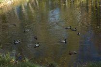 Озеро с утками