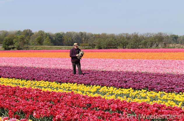 The-Netherlands-Lisse-Tulip-Fields-Working-Man