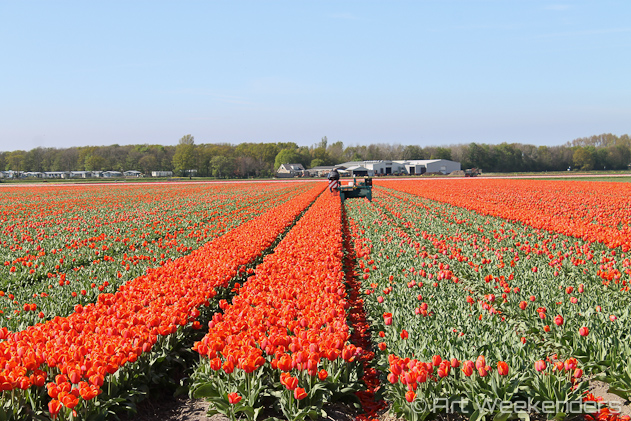 The-Netherlands-Lisse-Tulip-Fields