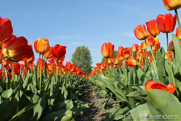 The-Netherlands-Keukenhof-Tulip-Fields