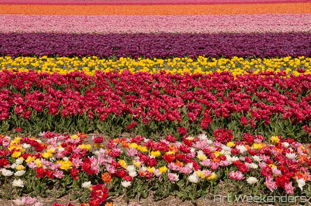 The-Netherlands-Keukenhof-Gardens-Flower-Fields
