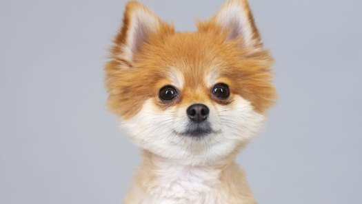 100 Years of Pomeranian Beauty in 60 Seconds by Keith Hopkin