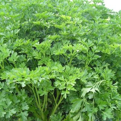 Peršun lišćar sveže zelene boje