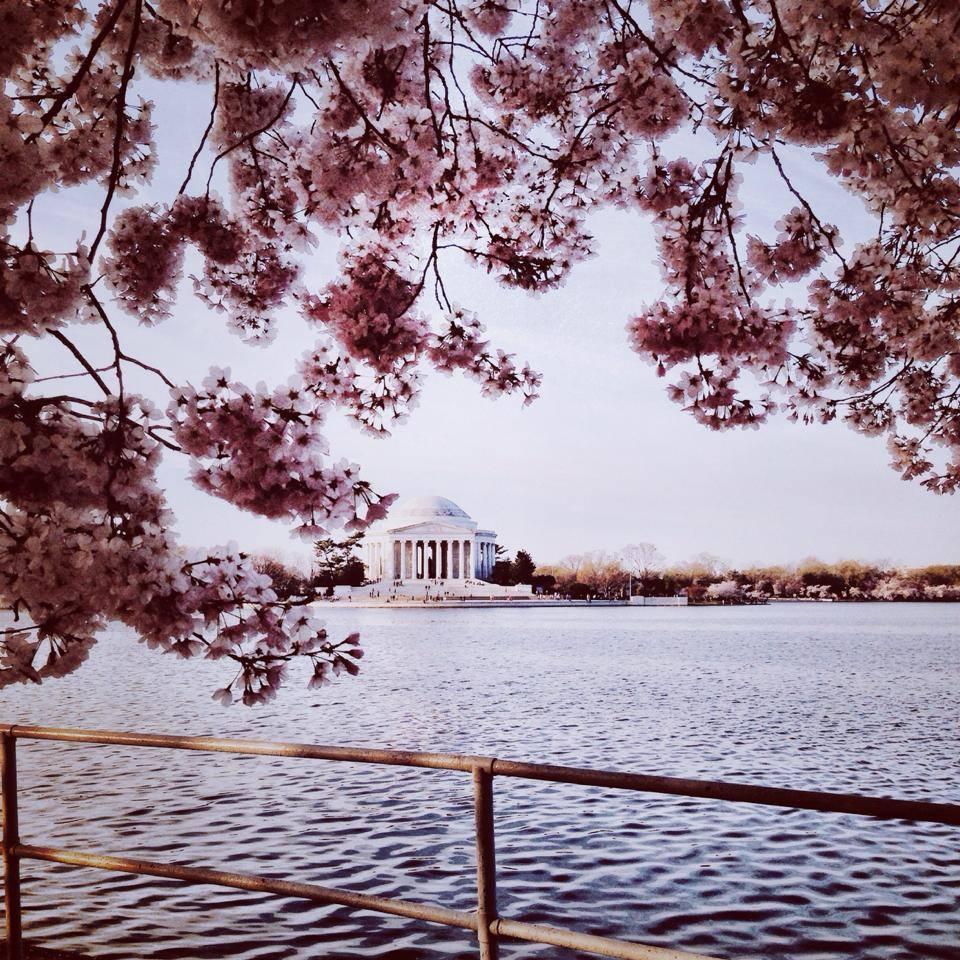 cherry blossoms 2014 jefferson memorial