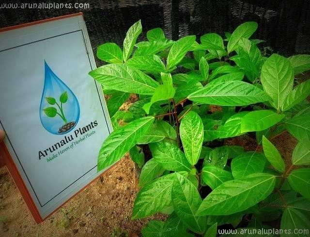 Attikka | Ficus racemosa