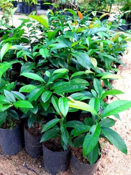 Ceylon ebony tree