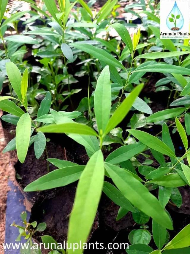 sudu hadun plant for sale