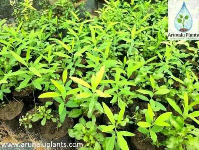 sudu hadun plant
