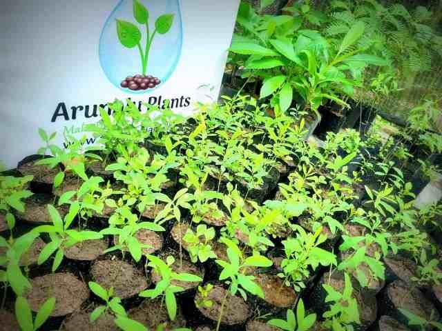 sudu hadun plants