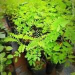 Ranawara | Cassia auriculata