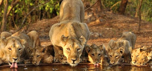 Visit Gir National Park Gujrat India