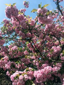 Shang-si 2018 fleurs cerisier