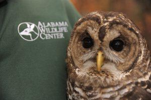 An owl held by an Alabama Wildlife Center volunteer
