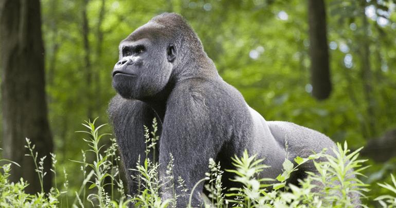 Rafiki, silverback mountain gorilla