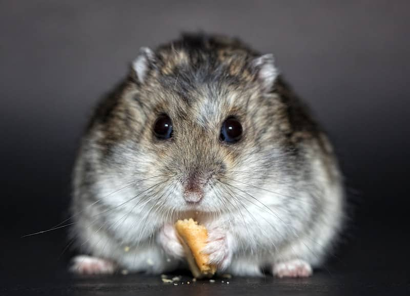 Scary hamster
