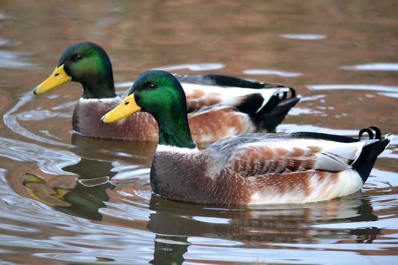 Twin ducks
