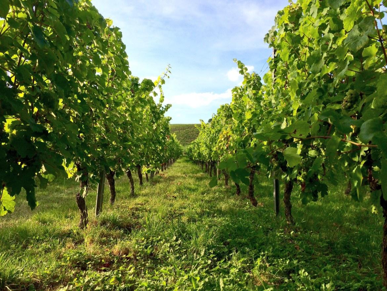 Leaves on the vines in Eltville-Martinsthal